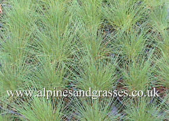 Ornamental grasses online catalogue uk for Spiky ornamental grass