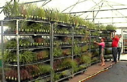 Grasses wholesale UK Nursery Growers