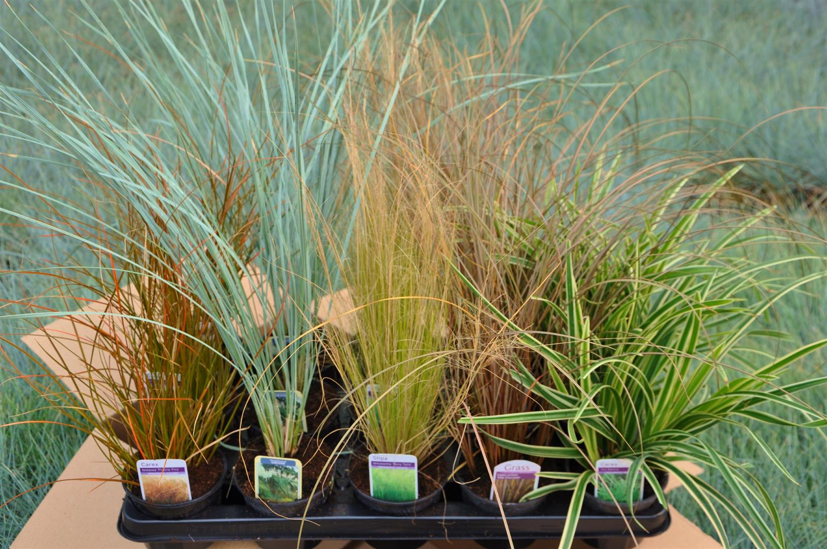 Grasses for pots 28 images 10 patio privacy ideas to for Ornamental grass in containers for privacy