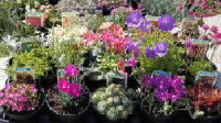 Alpines rockery plants wholesale grower