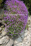 Aubrieta cascade Purple Alpines full sun