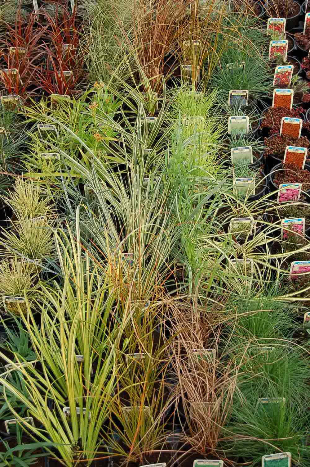 Mail order special offers alpines grasses lightweight for Tall ornamental grasses for pots