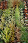 Ornamental Grasses Mail Order