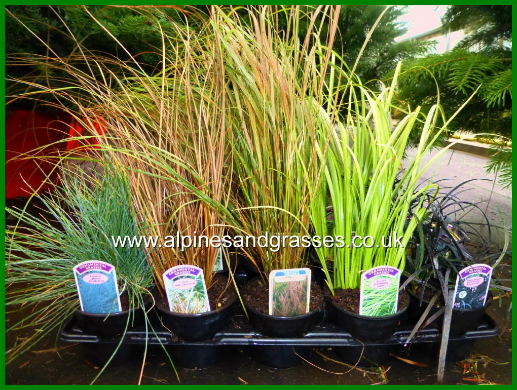 Ornamental Grasses In Containers Colourful evergreen grasses for winter display pots and containers christmas gift gardeners grasses evergreen hardy colourful workwithnaturefo