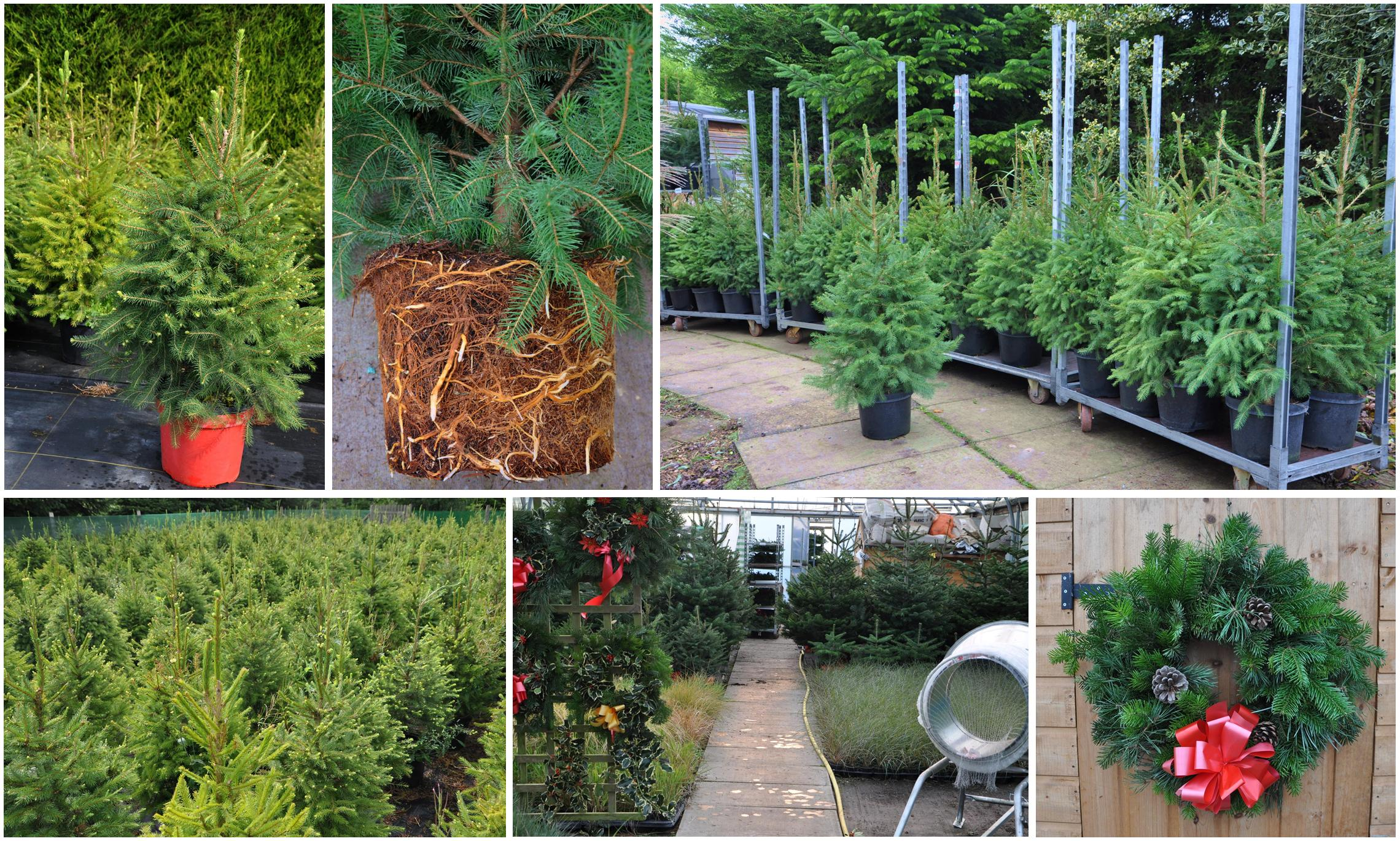 Christmas Trees wreaths pot grown trees Lincolnshire Spalding